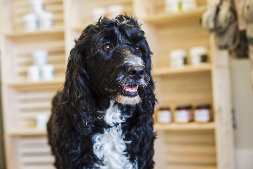 Jellybean The Portuguese Water Dog Talks Raw Pet Food Windsor